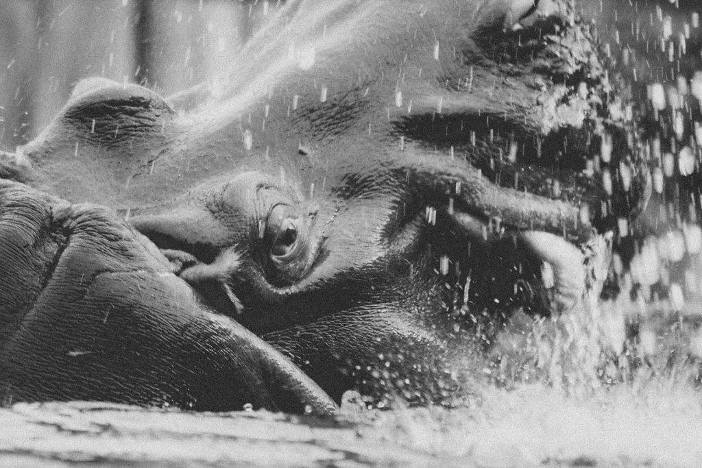 Hippopotamus-amphibius.jpg